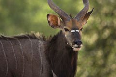 Nyala antelope Royalty Free Stock Photos