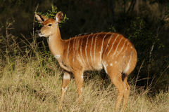 Nyala antelope Stock Photography