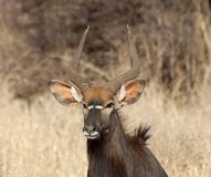 Nyala Antelope. Male Nyala antelope in South Africa Stock Image
