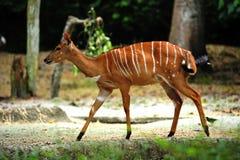 Nyala Antelope Stock Photos