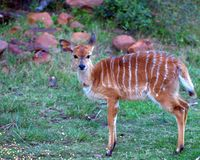Nyala (Antelope, Africa) Calf. A young nyala calf not yet a year old appeared out of the brush on its own to feed on some corn placed out at a feed station on a Royalty Free Stock Photos