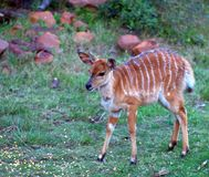 Nyala (Antelope, Africa) Calf. A young nyala calf not yet a year old appeared out of the brush on its own to feed on some corn placed out at a feed station on a Royalty Free Stock Image