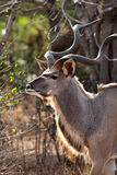 Nyala antelope in the bushes Stock Images