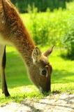 Nyala antelope closeup Stock Images