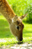Nyala antelope closeup Stock Photo