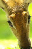 Nyala antelope closeup Stock Photos
