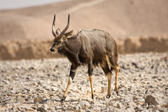 Nyala antelope on desert Stock Photo