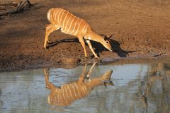 Nyala antelope drinking Royalty Free Stock Photo