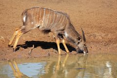 Nyala antelope drinking Royalty Free Stock Photos