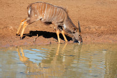 Free Nyala Antelope Drinking Royalty Free Stock Photo - 46859425
