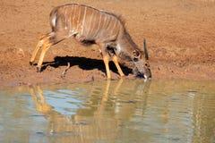 Nyala antelope drinking Royalty Free Stock Photo