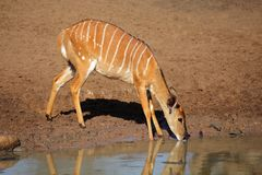 Nyala antelope drinking, South Africa Royalty Free Stock Photography