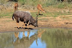 Nyala Antelope Drinking Water Royalty Free Stock Images