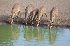 Nyala antelope drinking water in a row Stock Image