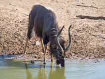Nyala antelope drinking at waterhole. In Mhkuze Game Reserve in KwazuluNatal, South Africa. This is a male with dark fur and large horns and the photo has been Stock Image