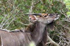 Nyala Antelope eating Royalty Free Stock Photography