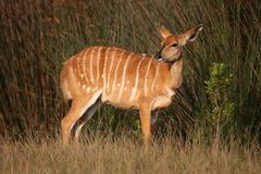 Nyala Antelope Female Royalty Free Stock Photos