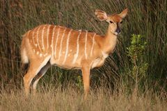 Nyala Antelope Female Royalty Free Stock Image
