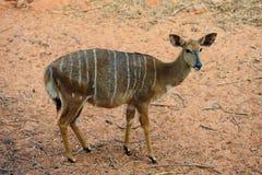 Nyala Antelope (Female) Royalty Free Stock Image