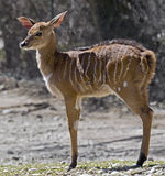 Nyala 1 Stock Photography