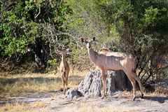 Nyala antelope Royalty Free Stock Photo