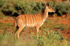 Nyala antelope Royalty Free Stock Images