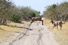 Nyala antelope Stock Image