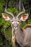 Nyala antelope, Kruger National Park, South Africa Stock Photography