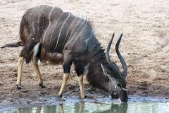Nyala Antelope Male Royalty Free Stock Photos