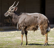 Nyala 2 Royalty Free Stock Image