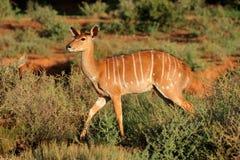 Nyala antelope in natural habitat Royalty Free Stock Images