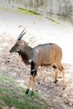 Nyala antelope Nyala angasi in the zoo stock images