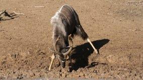 Nyala antelope playing stock footage