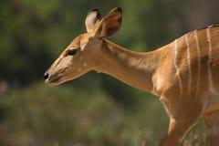 Nyala antelope portrait Stock Image