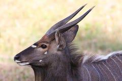 Nyala Antelope Portrait Royalty Free Stock Image