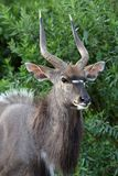 Nyala Antelope Portrait Royalty Free Stock Photos