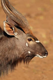 Nyala antelope portrait Royalty Free Stock Photo