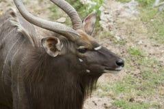 Nyala antelope ram closeup Stock Images
