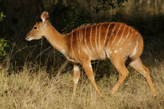 Nyala antelope, South Africa Royalty Free Stock Photos