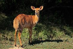 Nyala antelope - South Africa stock images