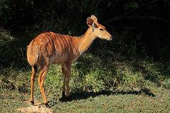 Nyala antelope - South Africa stock image