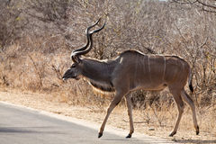 Nyala antelope walking in the bushes Stock Photos
