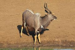Nyala antelope at waterhole Stock Photography