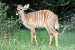 Nyala Antelope Young Stock Photos