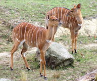 Nyala Antelopes. The nyala (Nyala angasii or Tragelaphus angasii), also called inyala, is a spiral-horned antelope native to southern Africa Stock Photos