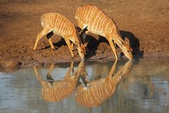 Nyala antelopes drinking Royalty Free Stock Images