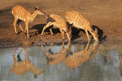 Free Nyala Antelopes Drinking Royalty Free Stock Image - 21300526