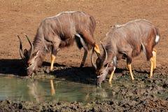 Nyala antelopes drinking Stock Photos