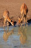Nyala antelopes drinking Royalty Free Stock Photo