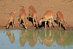 Nyala antelopes drinking Royalty Free Stock Image